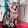出售自家繁殖两个半月龄美短银虎斑公母均有会用猫砂无病无癣