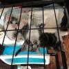 上海自家繁育,美短标斑和加白猫咪
