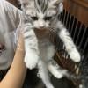 自家美国短毛猫,二个月大已打疫苗,坐标浙江宁波