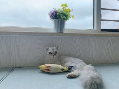 家有金吉拉猫咪妹妹,有七八个月了,马上发情了