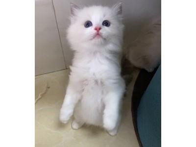 自家猫咪生产的小布偶,卫生健康、机灵可爱