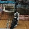 自家美国短毛猫,育苗全打其了四个多月了,坐标江苏宿迁