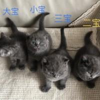 出售家养小蓝猫400元起,会用猫砂、会吃幼猫粮