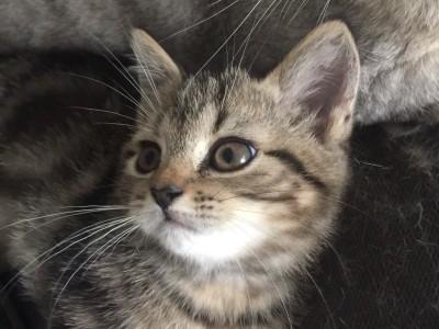 刚满两个月的小奶猫,美国短毛猫,自家养宠物生崽