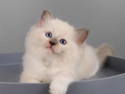 因为工作工作原因只能给家里的布偶猫找个新主人了