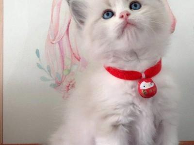 低价转让一只蓝双布偶幼猫