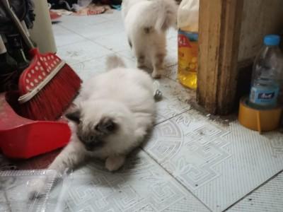 出售布偶猫,由于家里空间太小,忍痛割让
