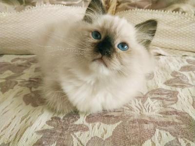 双血统布偶猫出售,猫咪在家中一直是散养的