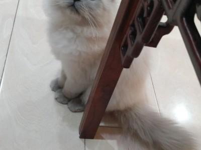 波斯系重点色布偶猫,哈尔滨可以上门看猫 外地托运