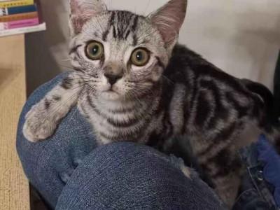 湖北武汉,纯种美短虎斑,5个月的弟弟,活泼可爱黏人