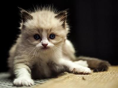 出售布偶公猫幼崽