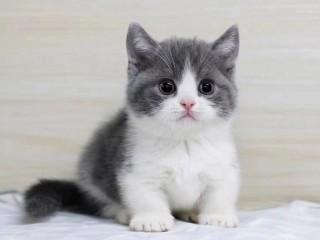 猫舍出售:美短 英短 蓝猫 渐层 布偶 蓝白