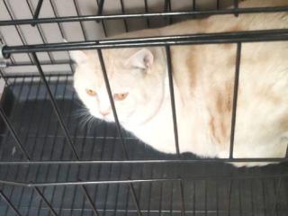 英短乳白2岁公,送笼子猫爬架猫砂盆猫粮