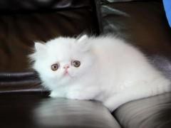 家养的猫会得狂犬病吗?