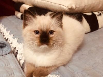 北京市布偶猫等待有缘人
