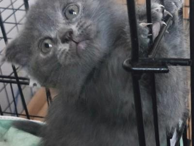 出售纯种折耳英短蓝猫猫崽地址四平