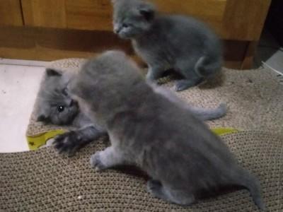 北京市平谷区自家生的蓝猫