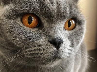 天津地区蓝猫,母猫求配种