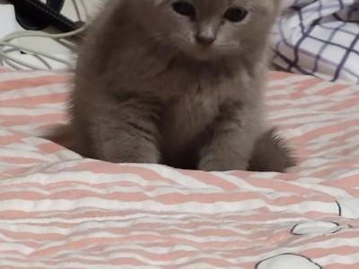 武侯区,两个月的蓝猫,公的,很可爱很活泼