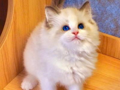 布偶猫找家啦