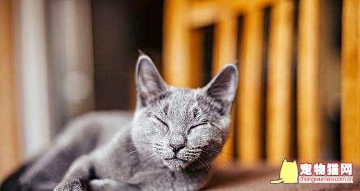 俄罗斯蓝猫形态有什么特征 蓝猫形态特征介绍