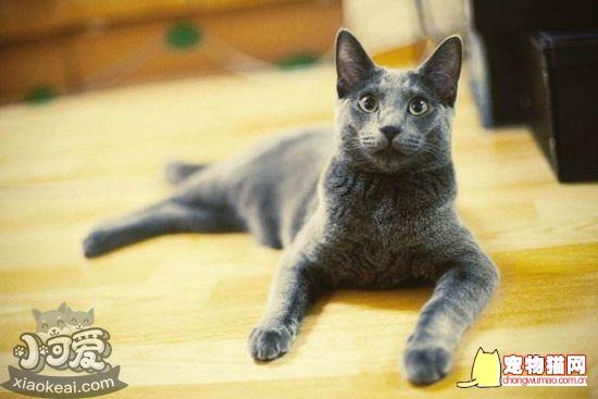俄罗斯蓝猫和英国蓝猫的区别