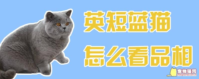 英短蓝猫怎么看品相