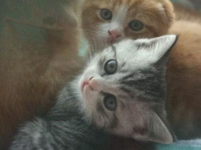 家里有4只猫两只折耳,两只小狸花猫