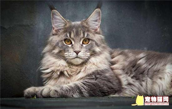 挪威森林猫和缅因猫的区别 教你如何分别这两种猫咪插图