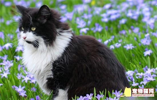 挪威森林猫和缅因猫的区别 教你如何分别这两种猫咪插图(1)