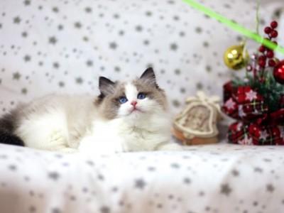 布偶猫舍繁育幼猫先找家中…