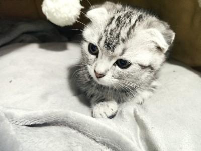 两个月大美短妹妹,价格可私聊,送猫砂