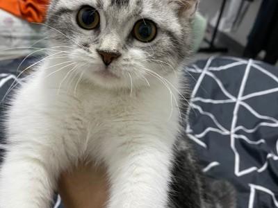 五个月美国短毛猫,会用猫砂 健康无猫藓