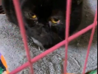 黑色加菲猫,疫苗齐全,坐标重庆