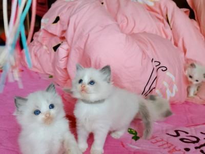 自己家养布偶猫,保猫咪健康,猫在上海宝山可上门来看