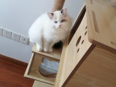 上海 浦东地区布偶猫 母猫