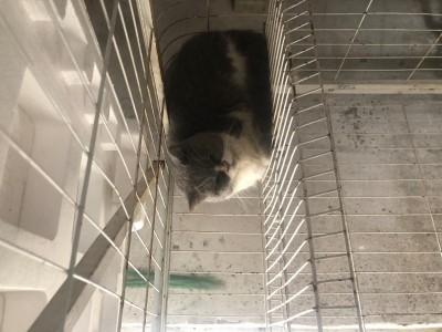 杭州市2岁蓝白猫一只