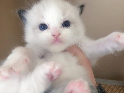 广州布海双偶猫咪,猫爸猫妈都是带证的双血统宝宝
