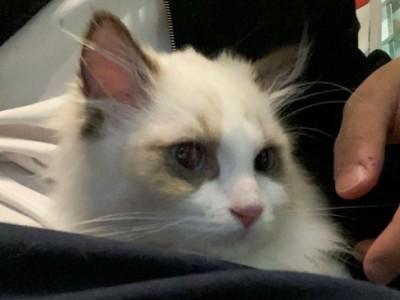 布偶猫 五个月 三针疫苗全齐 驱虫已做 母 赛级