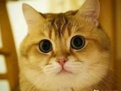 包子脸猫有哪些品种 怎么把猫养成包子脸