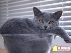 英短的15种颜色 英国短毛猫常见的颜色有哪些