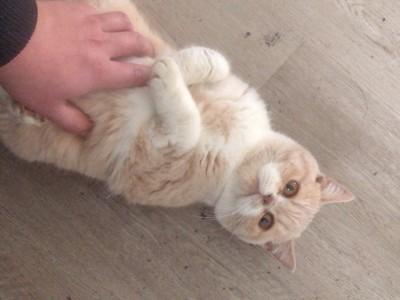 家养8个月左右加菲猫转让,个人问题出售