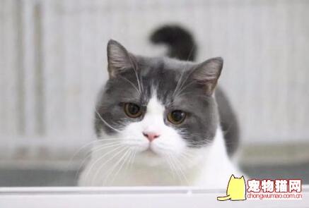 英短蓝白猫多少钱一只