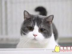 英短蓝白猫多少钱一只 如何挑选一只好的英短蓝白猫呢?