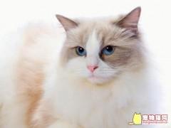 布偶猫宠物级和赛级布偶猫的区别