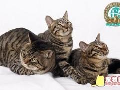 什么是纯种猫?纯种猫和血统猫的区别