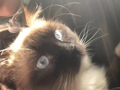 山东省的自己家的猫6个月了布偶重点手套