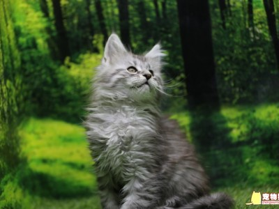 纯种缅因猫带血统芯片 大猫都是俄罗斯高端猫舍引进
