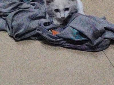 家里反对养猫 低价出售布偶猫