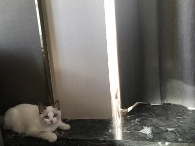 布偶七个月小公猫
